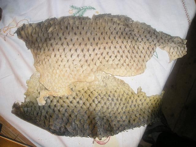 rybi kuze